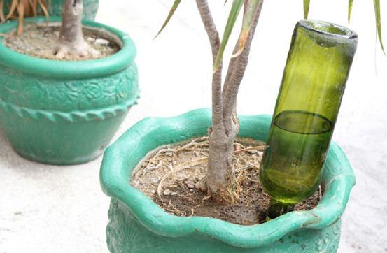 Полив комнатных растений в отсутствии хозяев способом с бутылкой можно сделать для влаголюбивых цветов, так как подачу воды отрегулировать невозможно