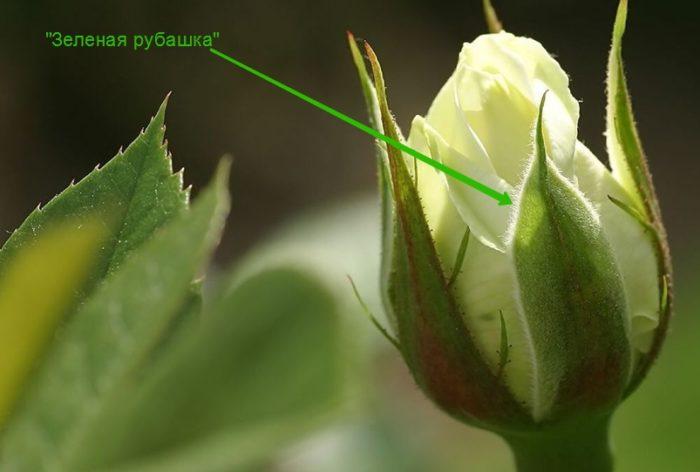 Дольше стоят в вазе нераскрывшиеся, твердые бутоны цветов с закрытой «зеленой рубашкой»