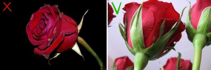 Плотные и упругие бутоны — цветок свежий