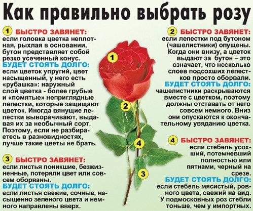 Инструкция, как выбрать свежую розу