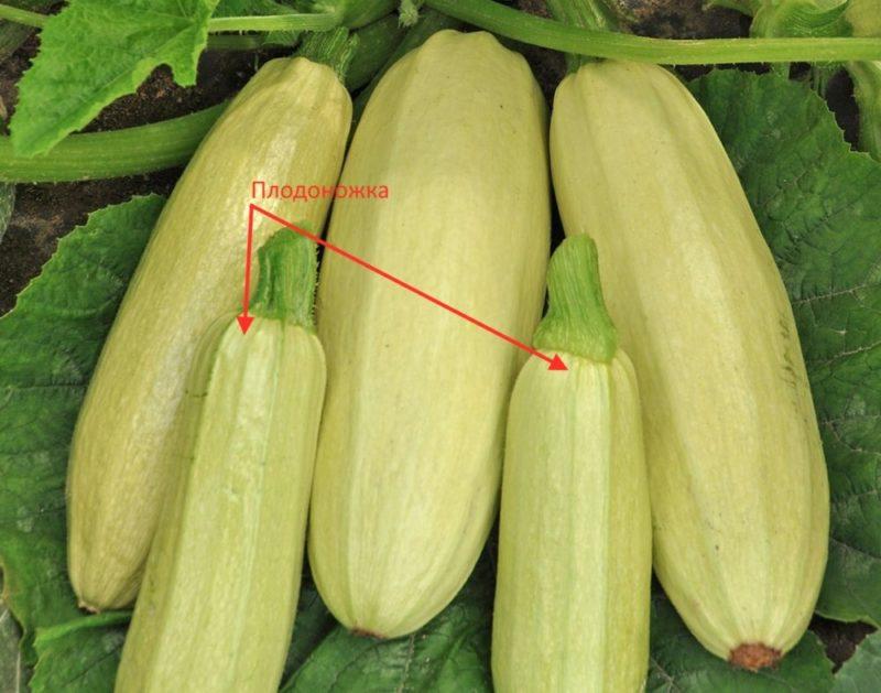 Чтобы кабачки дольше хранились, при их сборе оставляйте плодоножку — около 5–6 см