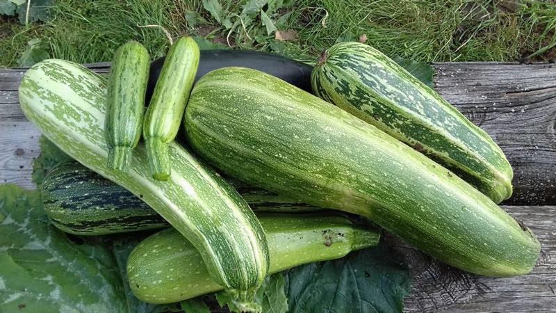 При сборе овощей не повредите кожицу. Кабачок начинает гнить с кончика, поэтому нужно оставить ножку (около 6 см)