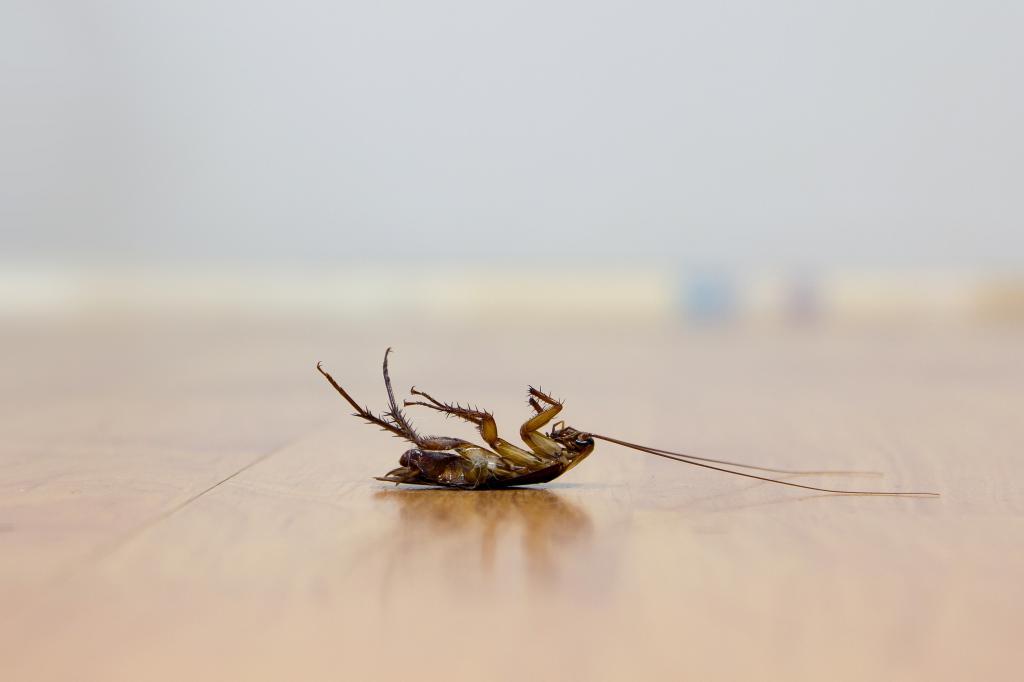 Если заметили тараканов, лежащих на спине со сложенными лапами, он мертв — яд подействовал. Перекройте им доступ к воде, иначе они отопьются и выживут