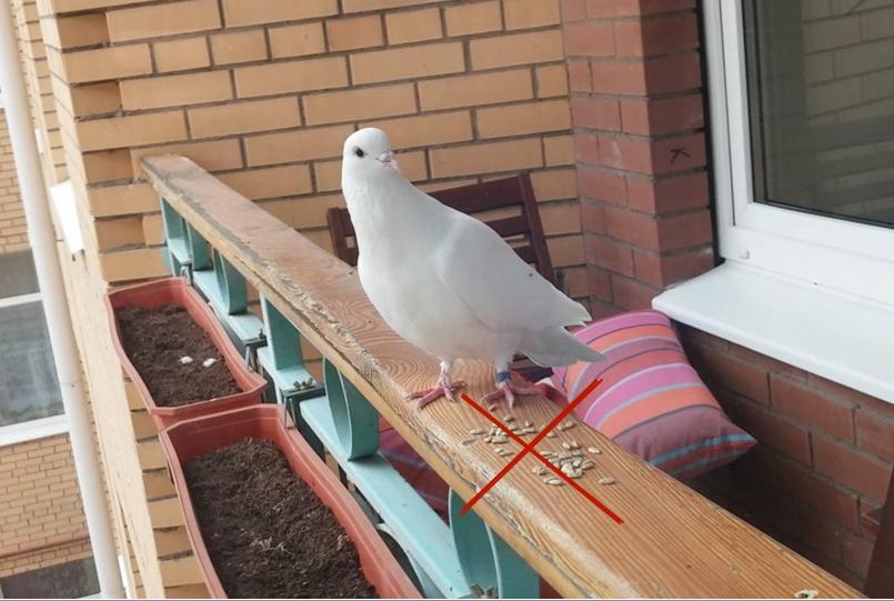Отсутствие воды и еды приведет к тому, что голуби сами покинут место обитания