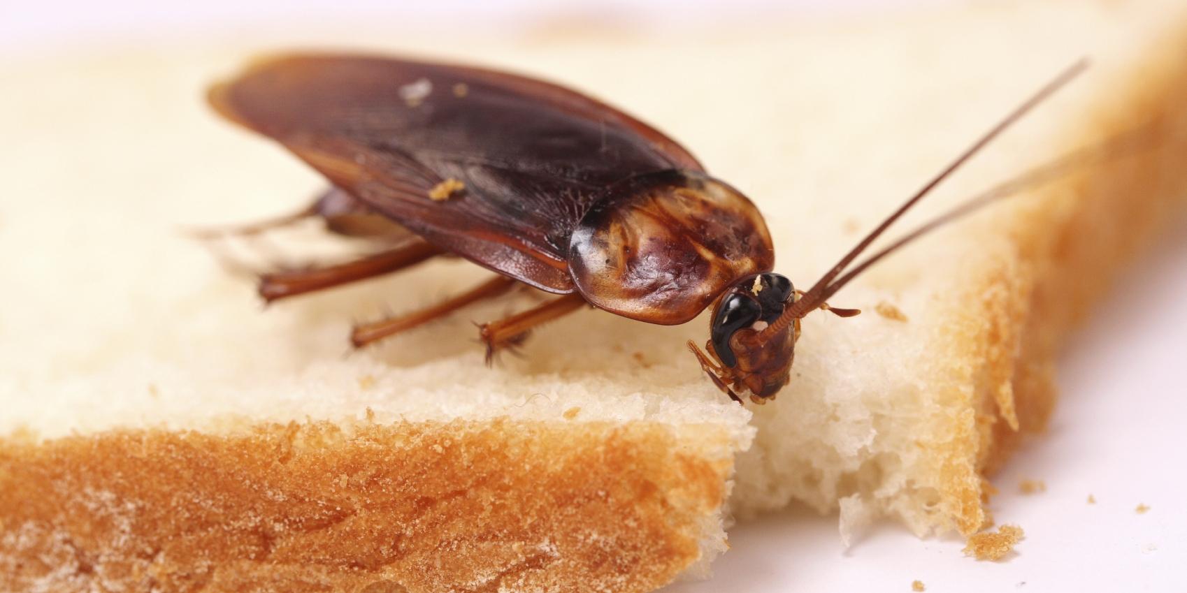 Чтобы тараканы ушли из квартиры, нужно создать невыносимые для них условия: чистый стол, чистая посуда, отсутствие воды. Оставленные продукты на столе — счастливая жизнь для насекомых!