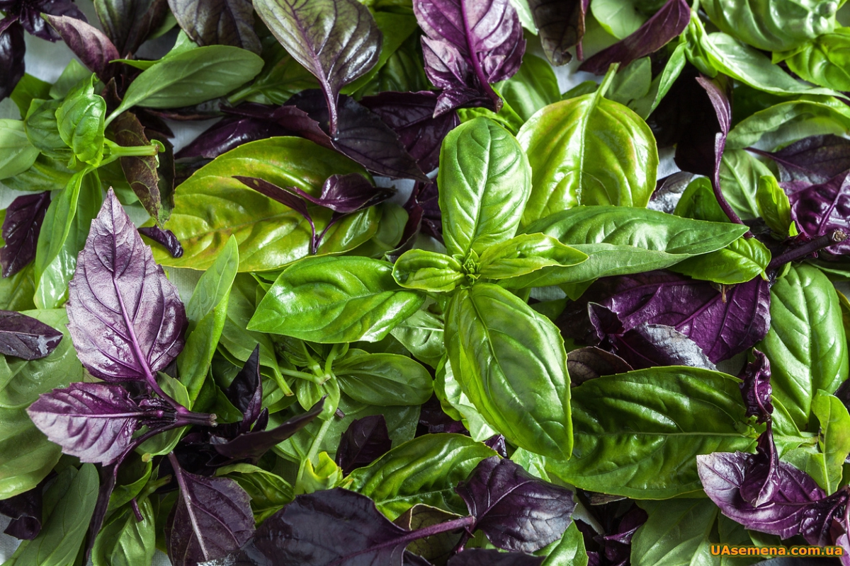 Фиолетовый и зеленый сохраняет аромат в сухом и замороженном виде