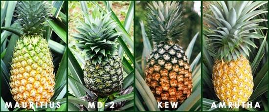 Есть много сортов, но самый долгий срок дозревания ананаса у сорта «Маврикий». Его и нужно брать для длительного хранения.