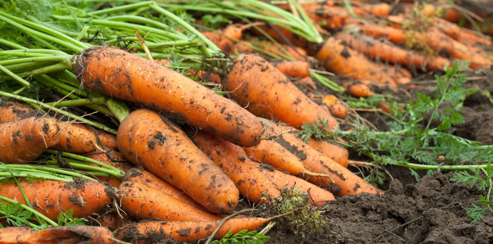 Для длительного хранения нужно отбирать морковь без дефектов и признаков повреждения.