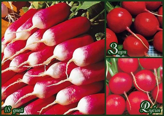 Раннеспелые сорта редиса можно сохранить в течение двух недель, для длительного хранения берут позднеспелые плоды