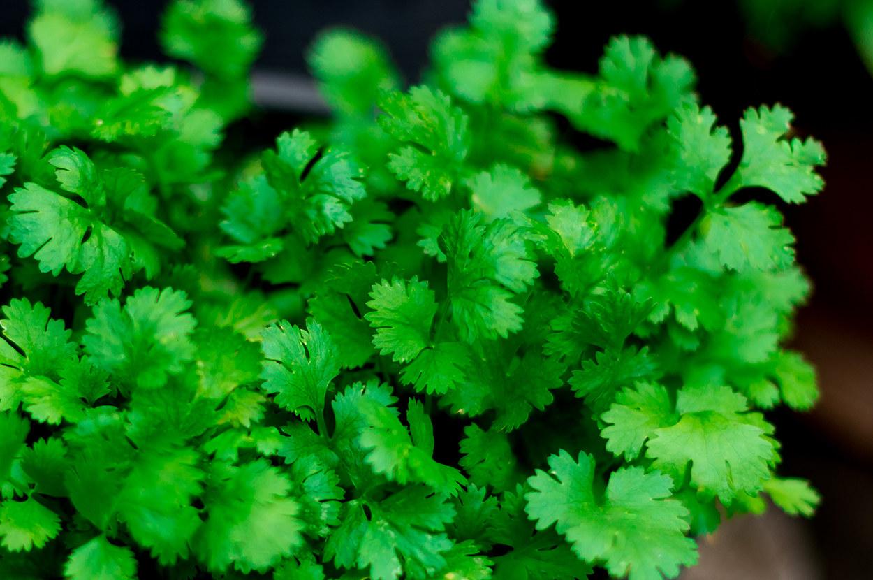 Кориандр — пряная зеленая трава, которую называют кинзой