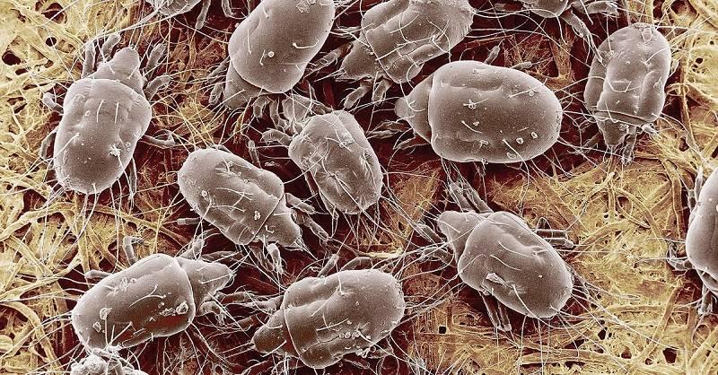 Клещи в матрасе, подушках и одеялах размножаются и питаются благотворной средой человеческого эпидермиса