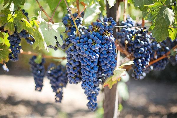 Лучший для хранения виноград — тёмный, среднеспелый свежий виноград, покрытый тончайшим восковым налётом. Налет будет защищать ягоды от вредителей