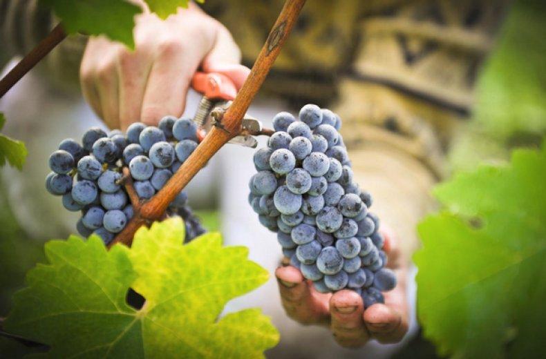 Восковой налет на ягодах винограда «плавится» от прикосновения теплых рук, поэтому при сборе лучше надевать перчатки