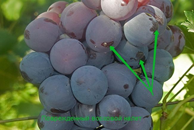 Если хотите надолго сохранить виноград, то его не стоит мыть, иначе вы смоете ценный восковой налёт